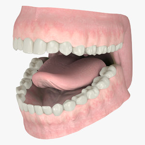 realistic gums teeth dentition 3D model