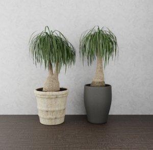 plant beaucarnea 3D model