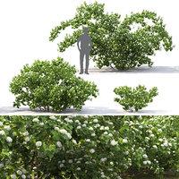 Physocarpus opulifolius #1