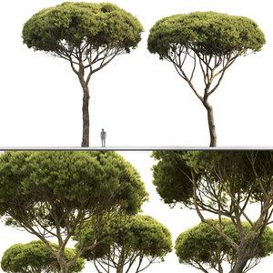pinus pine pinea 3D model