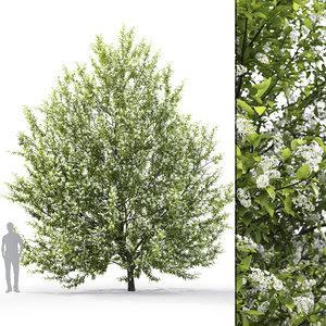 prunus padus tree 3D