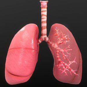 anatomy organ lungs 3D model