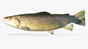 3D model brown trout