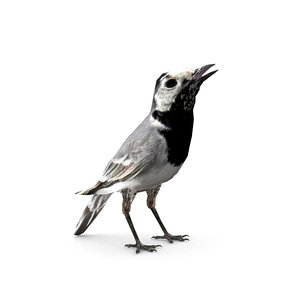 white wagtail 3D model
