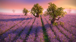 lavender field hd 3D model