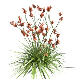 3D anigozanthos plant model