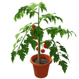 tomato plant 3D
