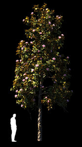 4 x magnolia model