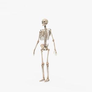 human skeleton male 3D model