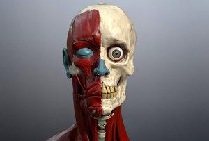 skeleton muscles study 3D model
