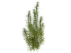 3d plant dracaena reflexa model