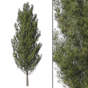 3D pine tree coniferous model