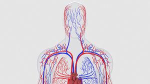 3D human circulatory model