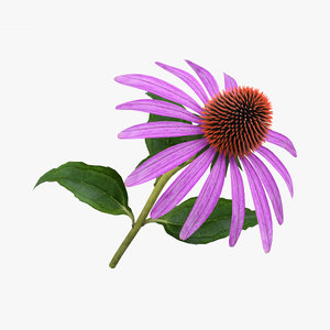 3D model echinacea flowers plant