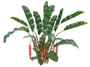 plant heliconia rostrata 3D