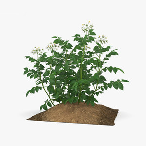 potato plant 3D model
