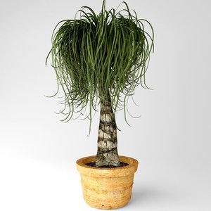 3D ponytail palm