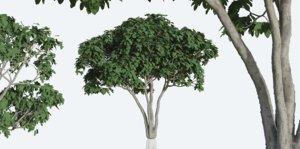 ficus tree nature model
