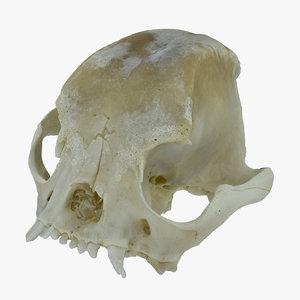 french bulldog skull 01 3D model