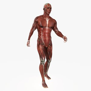 male mascular rigged model