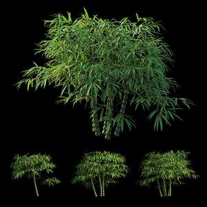 3D bambusa ventricosa model