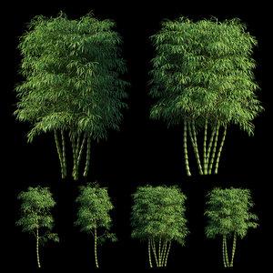 bambusa ventricosa 02 3D model