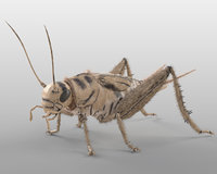 Cricket Insect Rigged