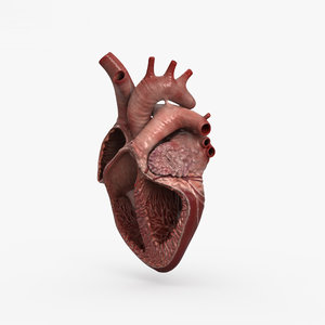 human heart cross model