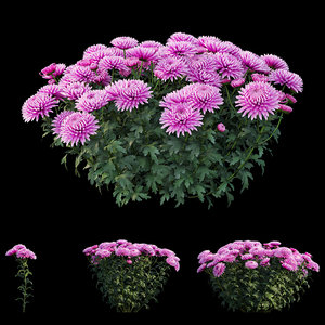 chrysanthemum flower plant set 3D