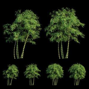 bambusa ventricosa 04 bamboo 3D model
