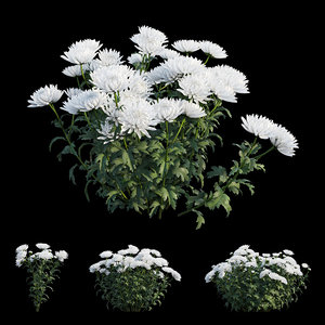 3D chrysanthemum flower plant set model