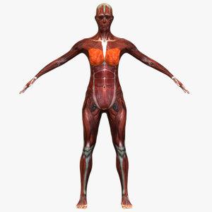 3D muscle male