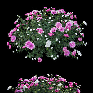 chrysanthemum flower plant set model