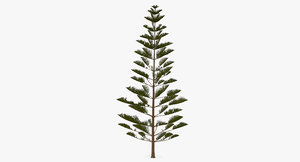 3D araucaria heterophylla star pine tree