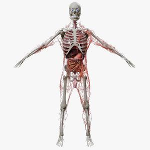 human organs model