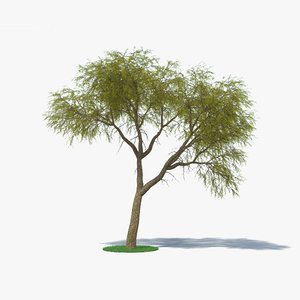 acacia estrophiolata 3D model