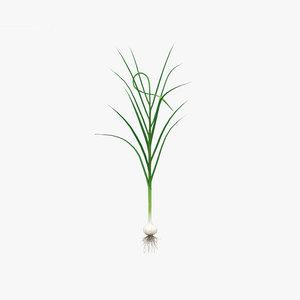 garlic plant c 3D model