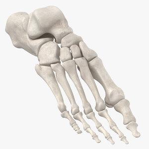 human foot bones anatomy model