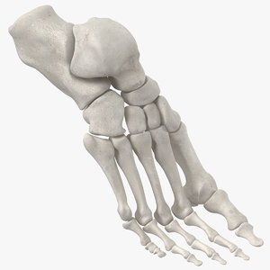 3D model human foot bones anatomy