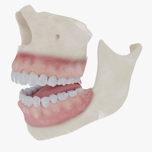 3D mouth bones gums anatomy model