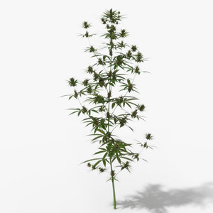 cannabis growing 3D model