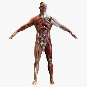 anatomy rigged 3D model