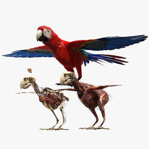 3D parrot anatomy skeleton model