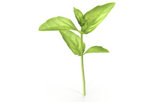3D model cinnamon basil