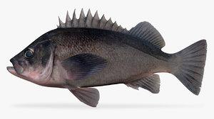 dusky rockfish 3D