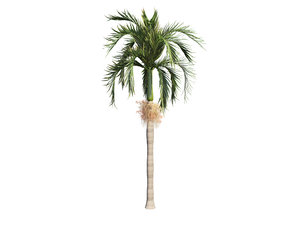 adonida palm tree 3D