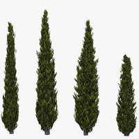 Italian Cypress 2
