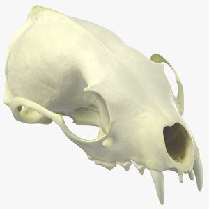 white breasted marten skull 3D model
