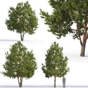 pinus sylvestris 6 3D