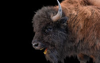 Bison Hair Fur Rigged